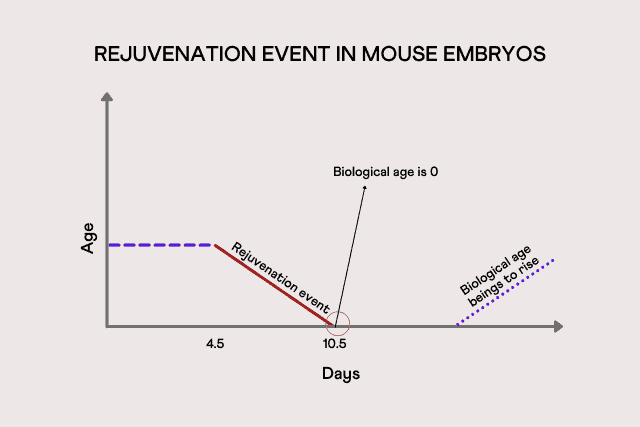 Rejuvenation event in mouse embryos