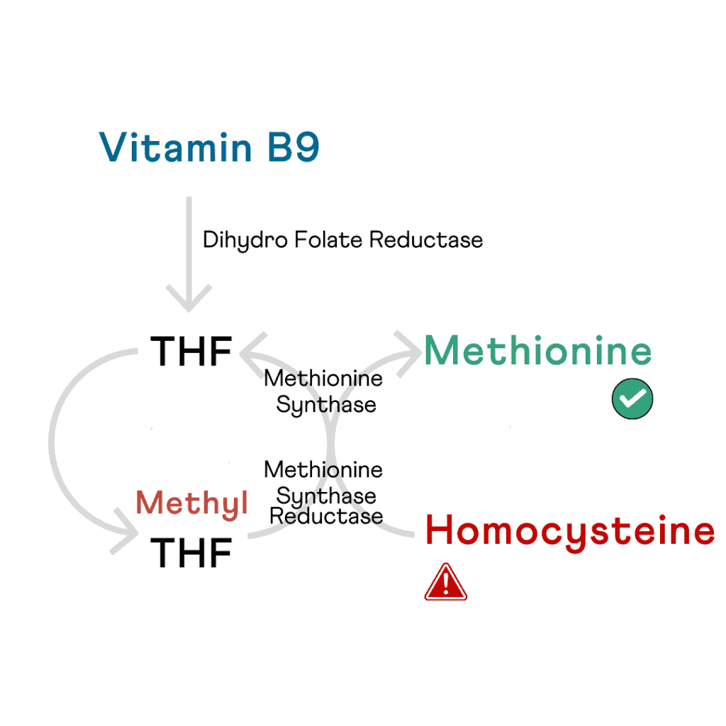 The MTHFR cycle